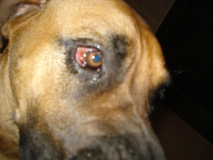 Why Are The Whites Of My Dogs Eyes Red